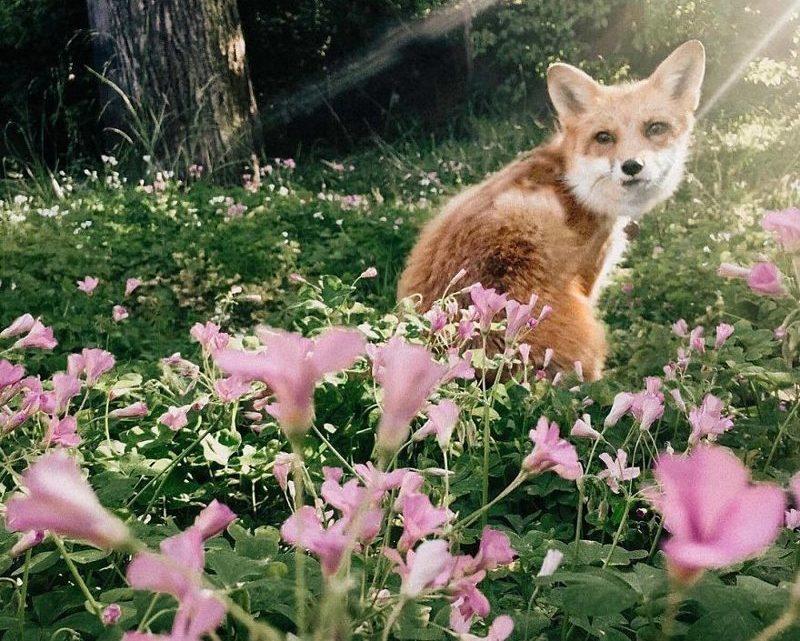 Вся правда о том, каково держать дома лису (44 фото)