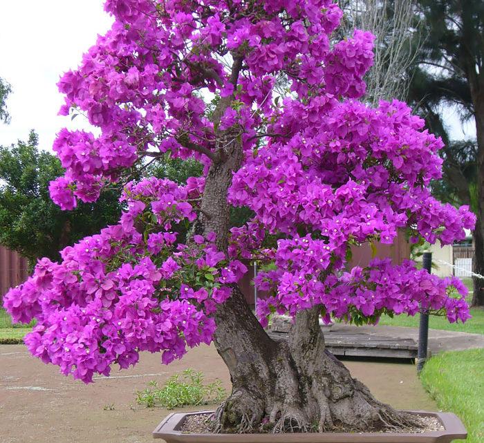 15+ самых красивых деревьев бонсай в мире.