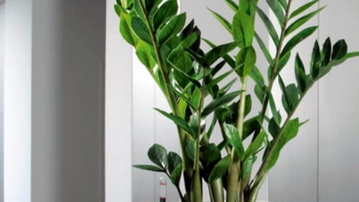 Красавец замиокулькас: 10 плюсов в пользу экзотического растения в вашем доме.