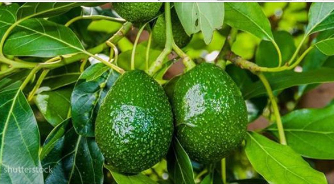 5 шагов, как легко и просто вырастить авокадо дома