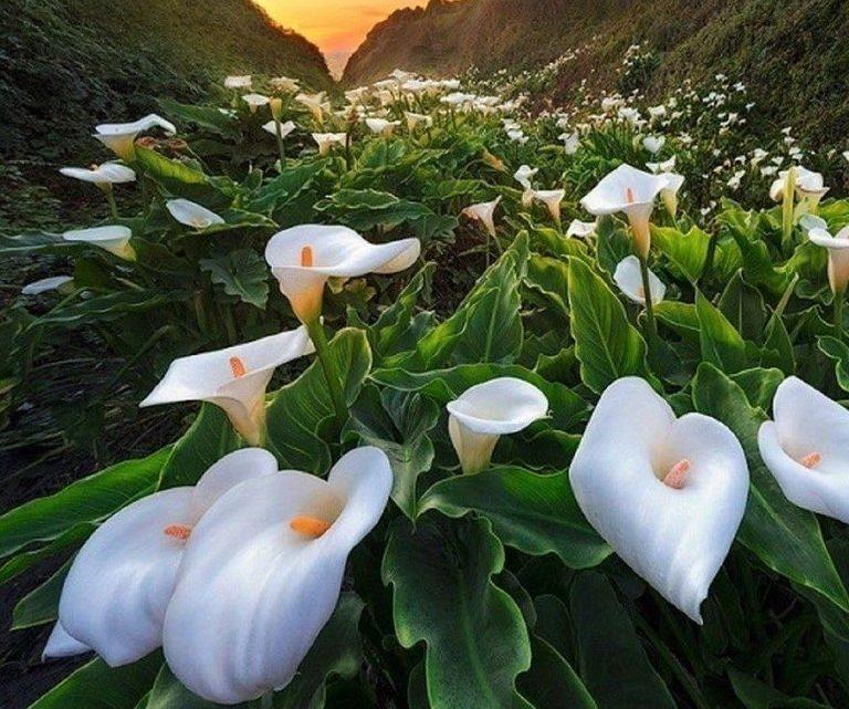 На побережье Тихого океана есть волшебное место — Долина диких калл